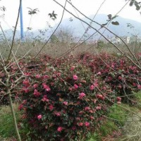 绿化苗木价格:金森女贞球、红王子锦带十大功劳、小叶女贞造型树