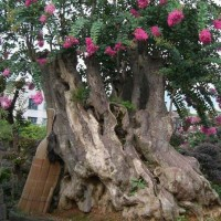 树木盆景报价:瓜子黄杨球、银杏树、金叶犹、五角枫、胶东卫矛球