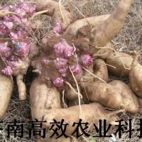 雪莲果营养价值也是其它植物所不能相比的